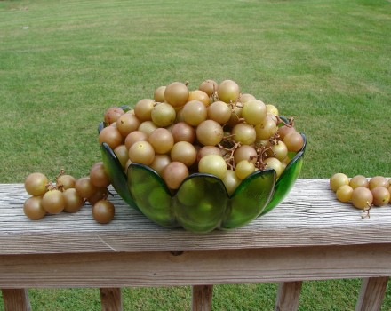 Finding Golden Treasure at the Flea Market: It's Scuppernong Season!